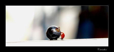coccinellid_s_2