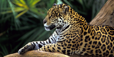4074_Jaguar-In-Amazon-Rainforest_1_460x230