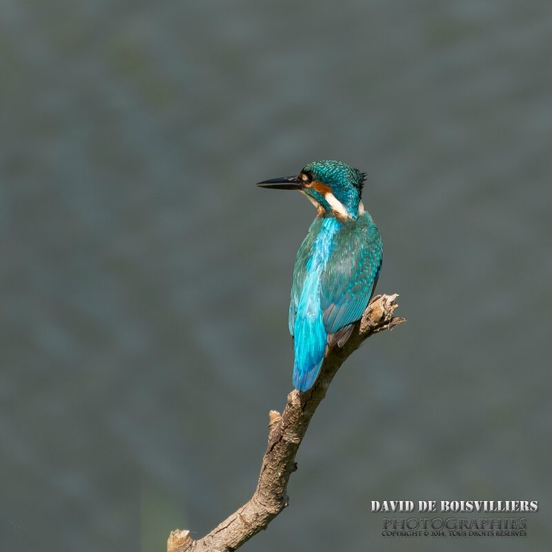 Martin-pêcheur d'Europe (Alcedo atthis - Common Kingfisher)