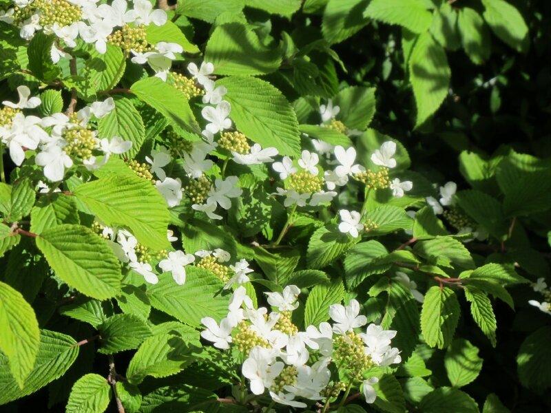 viburnum shasta
