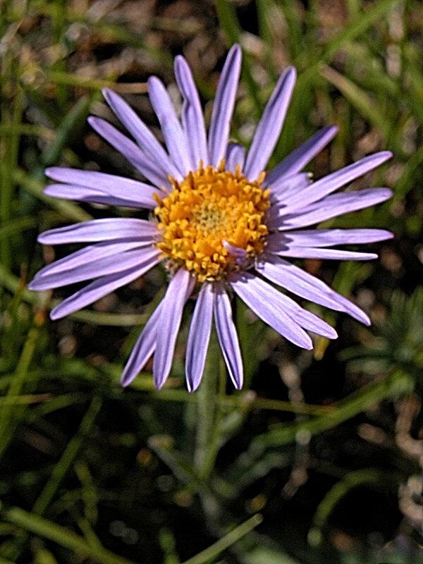 Fleurs Mont 13 redim