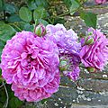 roses rose vieux bourg-1