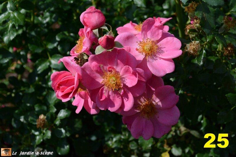 25-Concours international de roses d'Orléans 2016