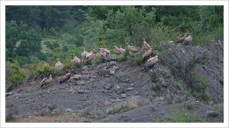 Aragon_vautours_troupeau_matin_070709