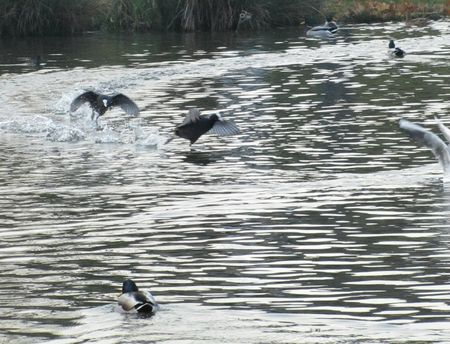 la danse des poules d'eau