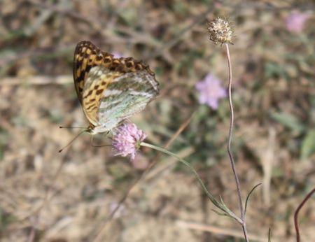 Papillon_et_scabieuses__1_