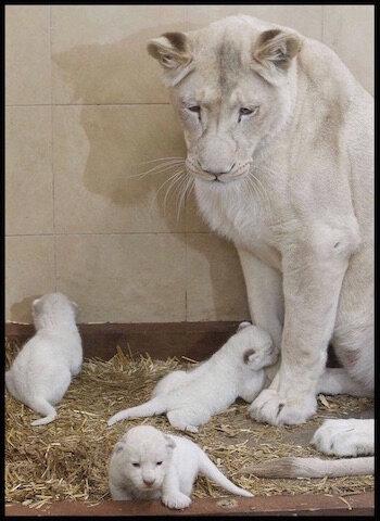 lionne blanche et petits