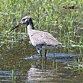 Chevalier arlequin (plumage internuptial)