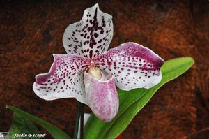 Orchidee_31