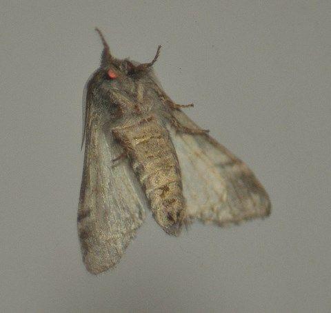 Drymonia querna Demi-lune blanche, Bombyx druide