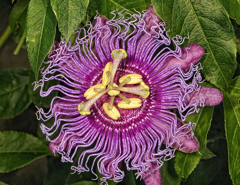 passion-flower_10153278575_o