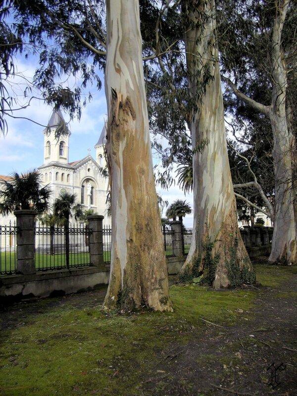 eucalyptus El PITO
