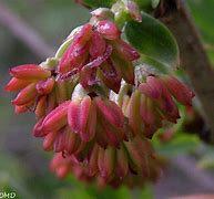 Corroyère à feuilles de myrte1
