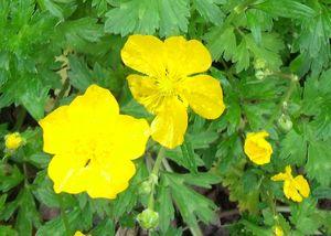 BOUTON_DOR_26_05_2010_VB_fleurs___boutons