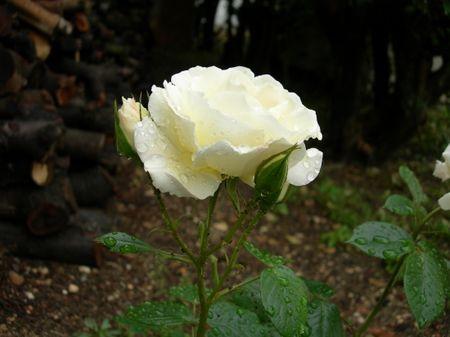 rose_sous_la_pluie