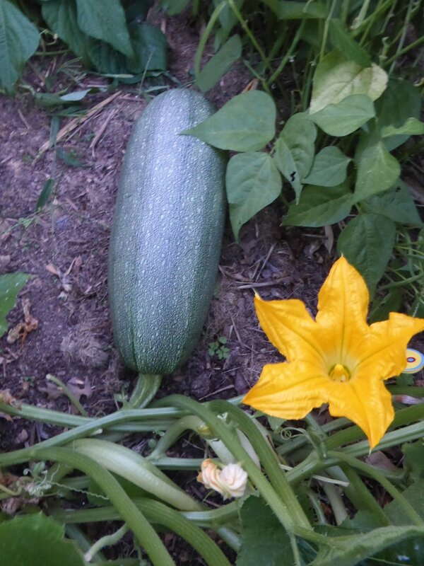 6-courgette (4)