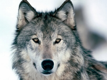Loup-russe