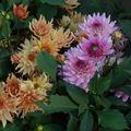 2009 08 14 Mes dahlias nains en fleurs