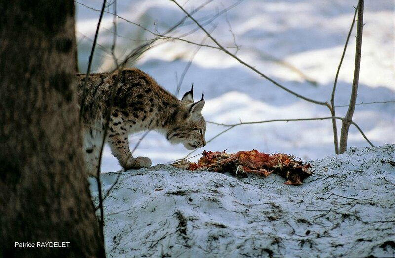 Patrice RAYDELET lynx boréal carcasse proie