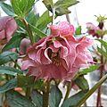Helleborus x hybridus 'double ellen'