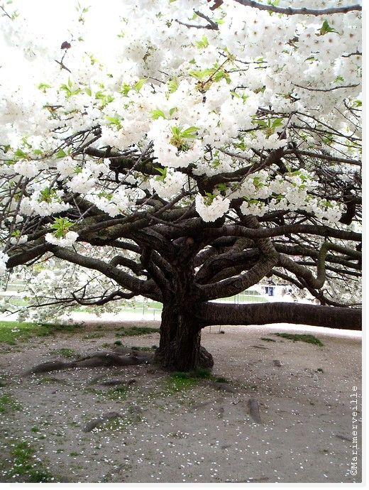 Cerisier en fleurs , Jardin des plantes 2
