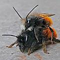 couple d'abeilles rousses