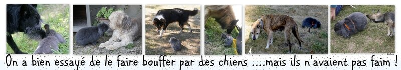 pipas chiens
