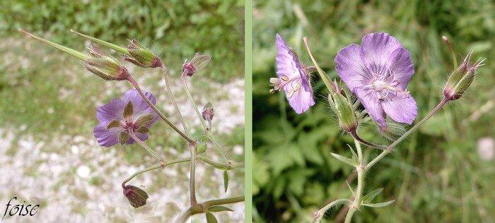 fleurs violet livide ou rose