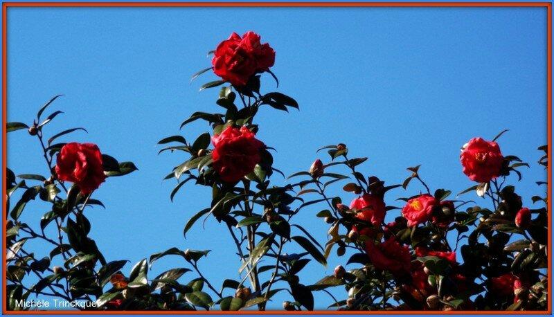 Camélias et ciel bleu 270215