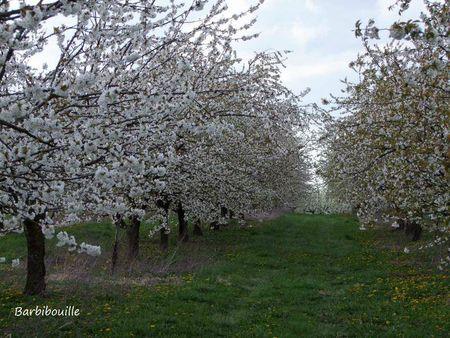 cerisiers11 Avril12