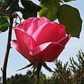 Rose 0205165