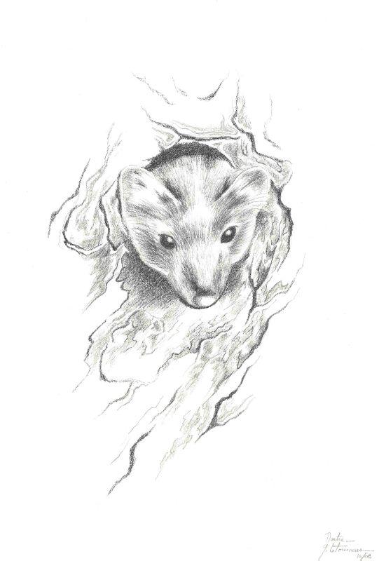 Dessin MARTRE petit mammifère carnivore à fourrure famille mustélidés Ghislaine Letourneur - Drawing marten - Dessin animaux sauvages - Desene