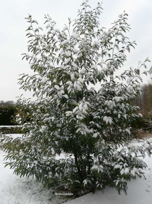 Mimosa en janvier 2009