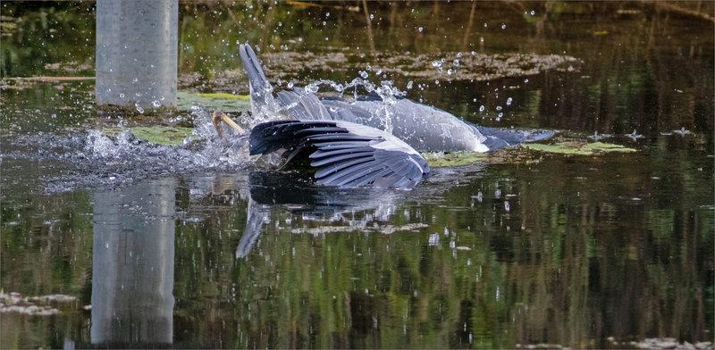 Oiseau héron plonge pêche 181021 ym 6