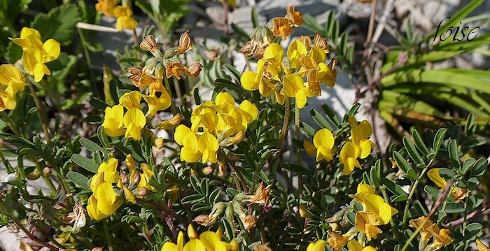 fleurs en glomérules ombelliformes