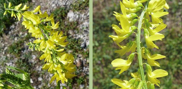 pédicelles plus longs que le tube du calice fleur de 5-6 mm pétales très inégaux