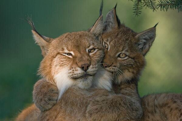 lynx couple