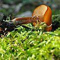Galerina marginata (4)