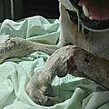 Galak 2 trouvé gravement blessé aux deux pattes
