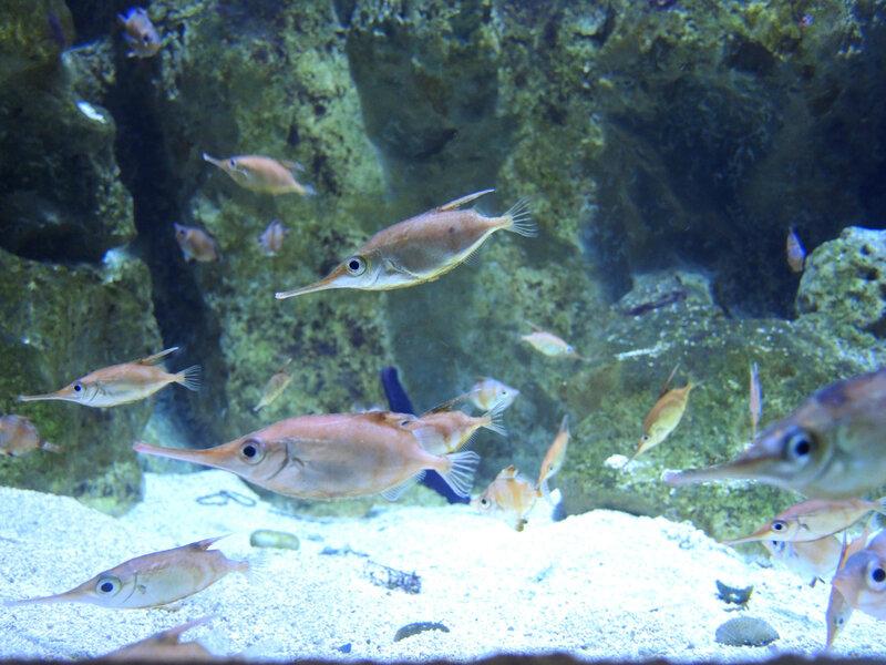 Biarritz, Musée de la Mer, Gascogne, poisson trompe (64)
