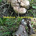 Gomphus crassipes