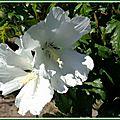 Althéas blancs 280615