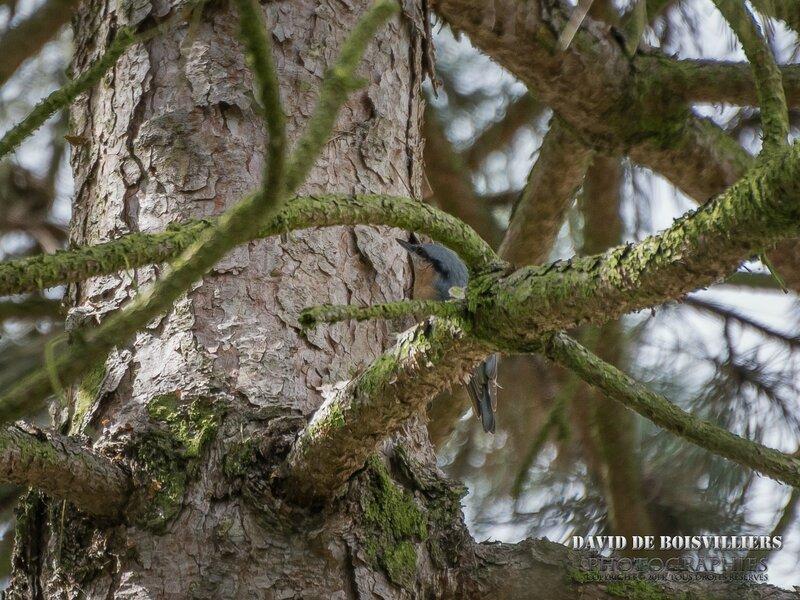 Sittelle torchepot (Sitta europaea - Eurasian Nuthatch)