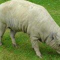 vilain cochon
